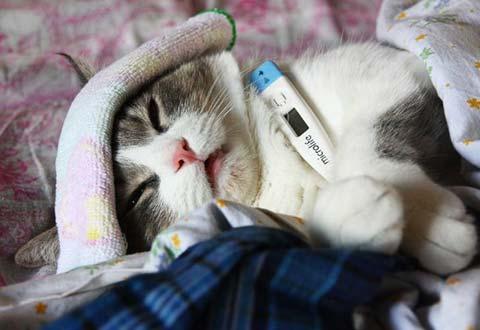 Лечение кальцивироза у кошек - комплексное мероприятие