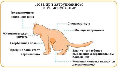 Распознать эту болезнь можно по характерной позе и поведению кошки