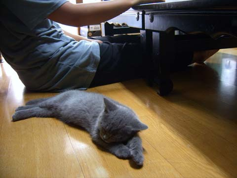 Котенок прямоухой шотландской породы лежит рядом с хозяином