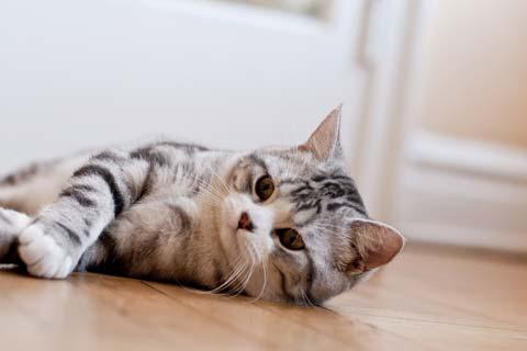 Красивая прямоухая кошка