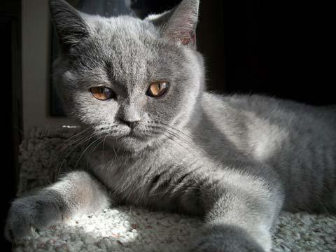 скоттиш страйт фото порода кошек