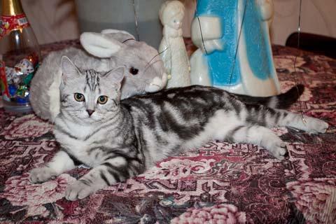 """У котов породы """"Скоттиш-страйт"""" очень мягкая красивая шерстка"""