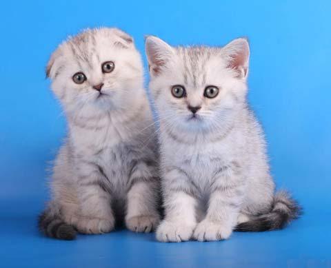 Случать взрослого «Скоттиш-страйт» нужно с породой шотландской вислоухой кошки
