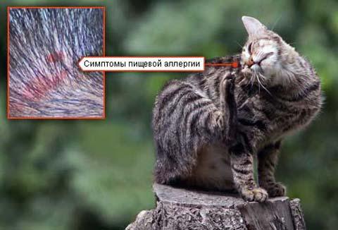 Для того, чтобы начать лечение дерматита у кошек, нужно сначала определить его причину