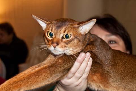 Необычная красота тикированного окраса абиссинской кошки