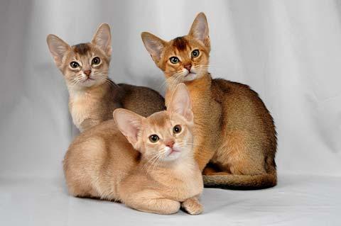Абиссинцев называют котами с заячьим окрасом