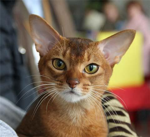 Абиссинские кошки ласковы и умны