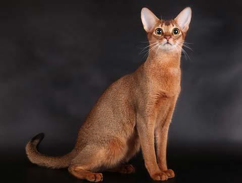 Порода абиссинской кошки не похожа на другие