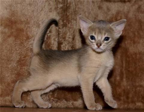 Котята-абиссинцы требуют к себе внимания и хозяйской заботы