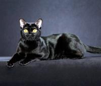 бомбейская кошка