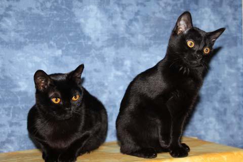 котята бомбейской породы