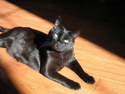 Бомбейская кошка в комнате греется на солнце