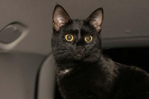Кот бомбейской породы в машине
