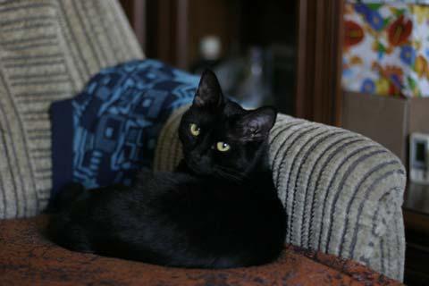 Бомбейская кошка лежит на диване