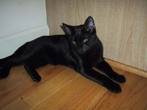 Бомбейская кошка лежит на полу