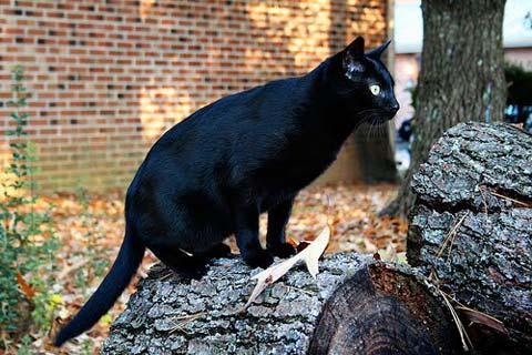 Бомбейский кот на природе
