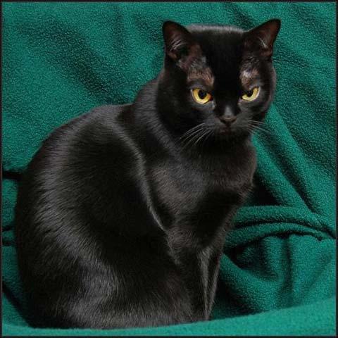 Бомбейская кошка на зеленом фоне