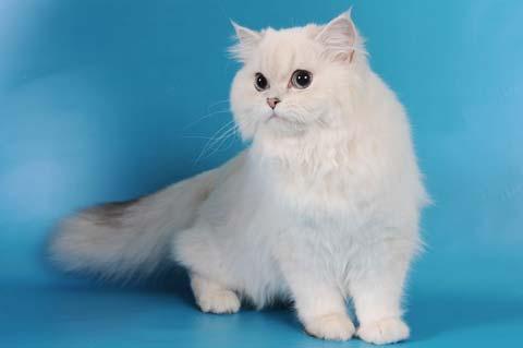 Интересная особенность внешности британской длинношерстной кошки - цвет глаз