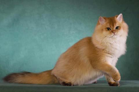 Длинношерстная британская кошка имеет интеллигентный характер