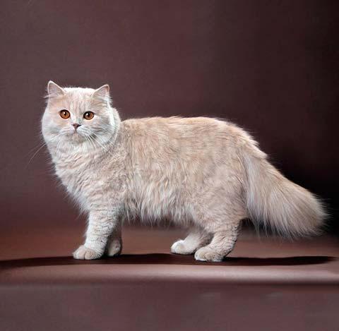 Британские длинношерстные коты очень красивы