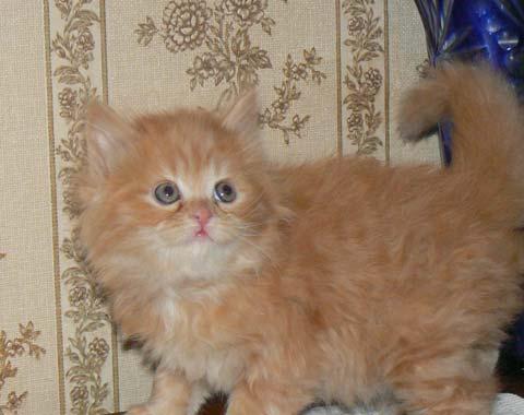 Котята Хайлендера - радость для любого хозяина