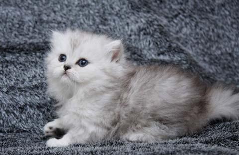Котенок длинношерстного британца - настоящий маленький ребенок