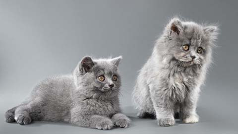 Необычно красивы котята дымчатых длинношерстных британцев