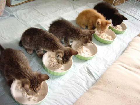 Один из симптомов заражения глистами - изменение аппетита кошки