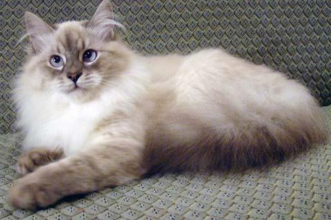 Коты сибирско-маскарадной породы