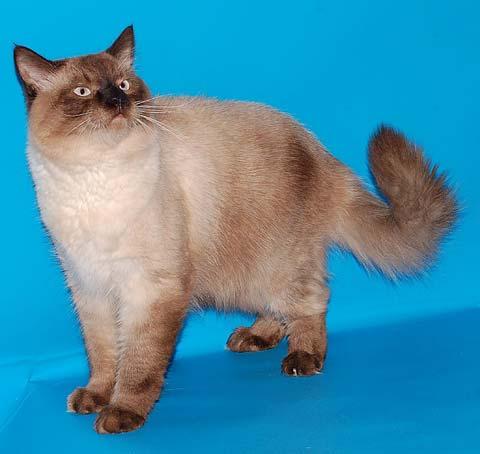 Невские кошки умны и чувствительны к настроению хозяина