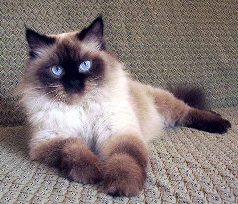 У невской маскарадной кошки очень красивые глаза