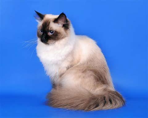 Удивительное качество невской маскарадной кошки
