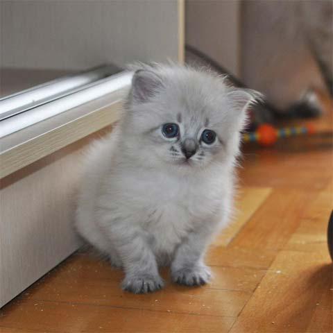 Котята невской кошки - просто чудо