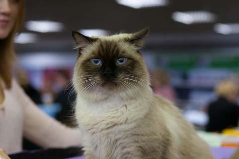 Невские маскарадные коты суровы, но не злопамятны