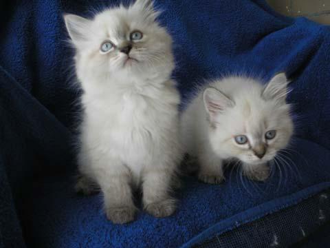 Маленькие невские котята очень дружны