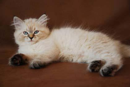 Шерсть невской породы кошек имеет уникальную особенность