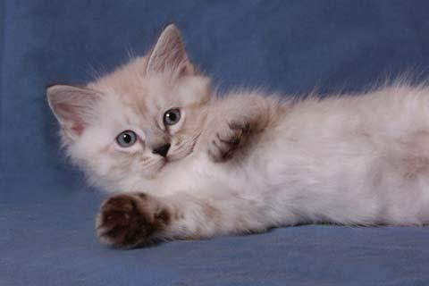 У маленьких котят невской маскарадной породы маска на мордочке выражена не ярко