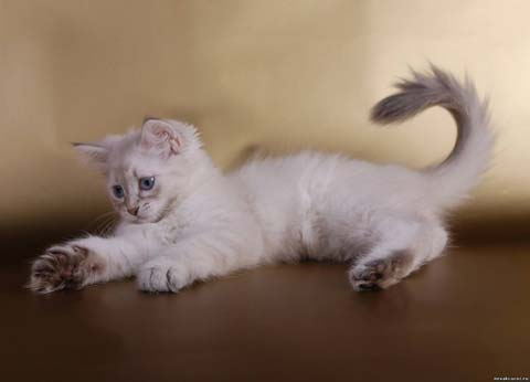 Породистые невские коты любят играть собственными игрушками