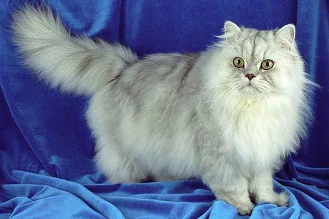 Персидская кошка - одна из самых красивых пород