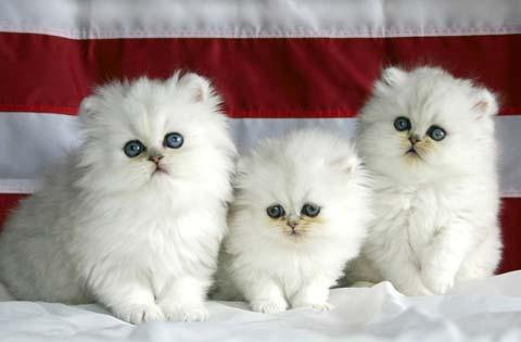 Персидские белые котята нереально красивы