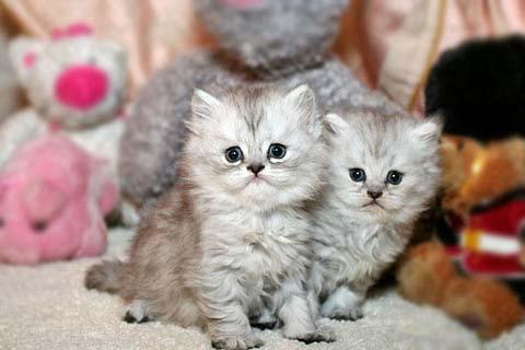 Маленьких персидских котят можно спутать с игрушками