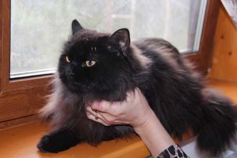 Черные персидские коты выглядят серьезно и величественно