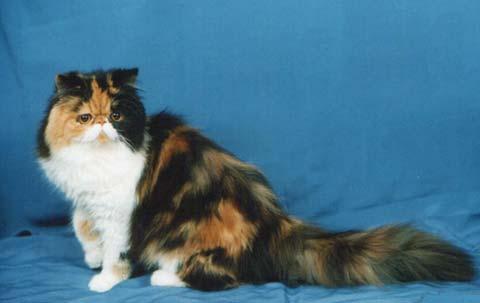 Трехцветный персидский котик выглядит уникально