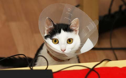 Стерилизованная кошка не меняет привычек и образа жизни после операции