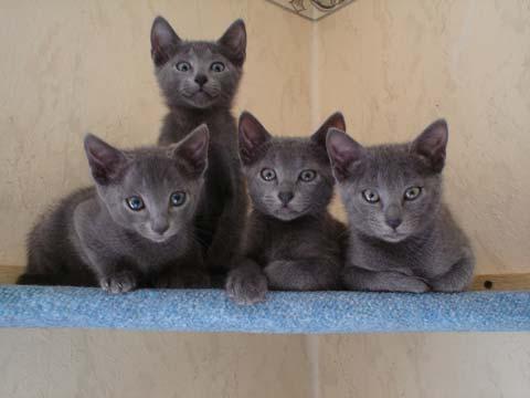порода русская голубая кошка