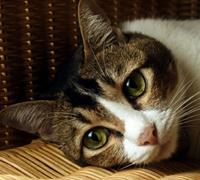 сахарный диабет у кошек не приговор