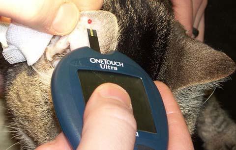 Проверка уровня сахара в крови у кошки с помощью глюкометра