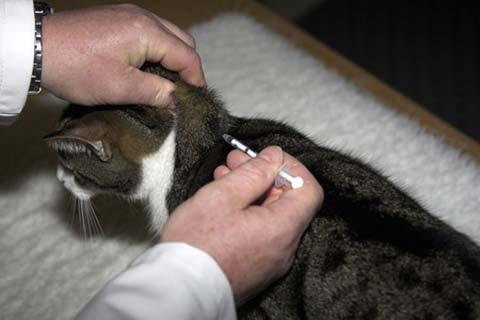 Кошке делают укол инсулина
