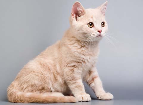 Шотландский прямоухой котенок