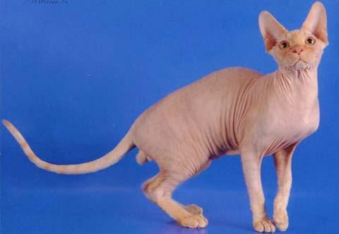 Древние египтяне обожествляли котов породы «сфинкс»